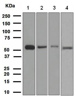 Western blot - HSPA14 antibody [EPR4210] (ab108612)