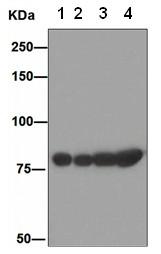 Western blot - GRP78 BiP antibody [EPR4040(2)] (ab108613)