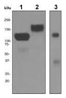 Western blot - ICAM3 antibody [EPR3995] (ab108618)