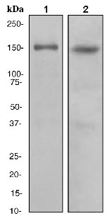 Western blot - Anti-CLASP1 antibody [EPR3409] (ab108620)