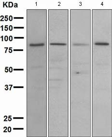 Western blot - MLH1 antibody [EPR3893] (ab108622)