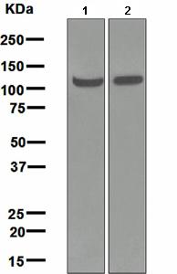 Western blot - Hsp105 antibody [EPR4577] (ab108625)