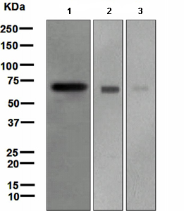 Western blot - Frizzled 9 antibody [EPR4011] (ab108628)
