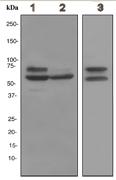Western blot - Anti-Lamin A + C antibody [EPR4068] (ab108922)