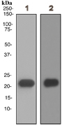 Western blot - Myosin light chain 3 antibody [EPR4160] (ab108923)