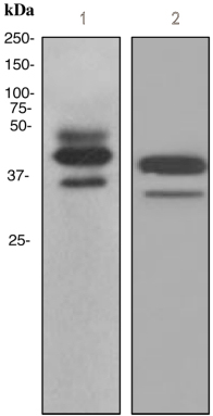 Western blot - ICAD  antibody [EPR4220] (ab108924)