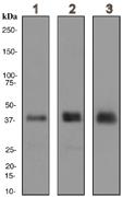 Western blot - Glycophorin C antibody [EPR4116] (ab108925)