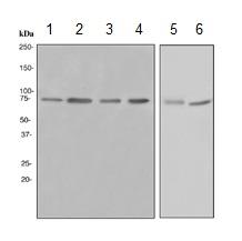 Western blot - HDAC10 antibody [EPR3576] (ab108934)