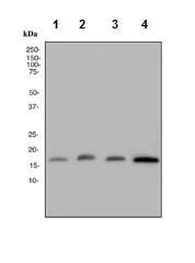 Western blot - Ube2L3 antibody [EPR4368] (ab108936)