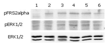 Functional Studies - FGF19 protein (ab108946)