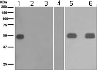 Western blot - IgG1 antibody [EPR4417] (ab108969)