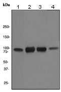 Western blot - Transferrin Receptor antibody [EPR4012] (ab108985)