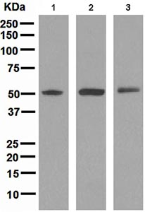 Western blot - TRAF4 antibody [EPR1729] (ab108991)