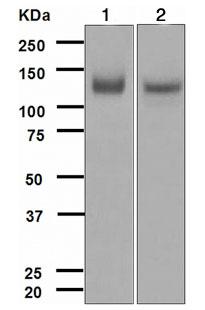 Western blot - TrkA antibody [EPR1104(2)] (ab109010)