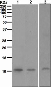 Western blot - MLLT11 antibody [CHCR115] (ab109016)