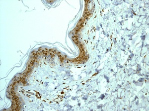 Immunohistochemistry (Formalin/PFA-fixed paraffin-embedded sections) - COX1 / Cyclooxygenase 1 antibody [EPR5866] (ab109025)
