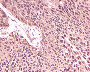 Immunohistochemistry (Formalin/PFA-fixed paraffin-embedded sections) - KIFAP3 antibody [EPR5599] (ab109026)