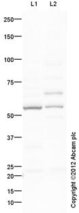 Western blot - Anti-Muscarinic Acetylcholine Receptor 2 antibody (ab109050)