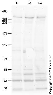 Western blot - Anti-Huntingtin antibody (ab109051)