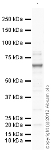 Western blot - Anti-P2RX7 antibody (ab109054)
