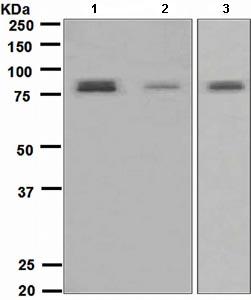 Western blot - Torc2 antibody [EPR3384(2)] (ab109081)