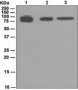 Western blot - Prothrombin antibody [EPR5188] (ab109087)