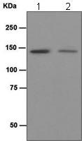 Western blot - HAUSP / USP7 antibody [EPR4254] (ab109109)