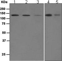 Western blot - Munc 13-4 antibody [EPR4914] (ab109113)