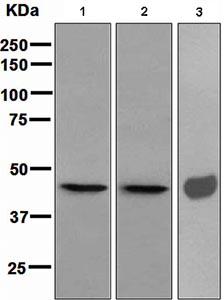 Western blot - Hsp47 antibody [EPR4217] (ab109117)