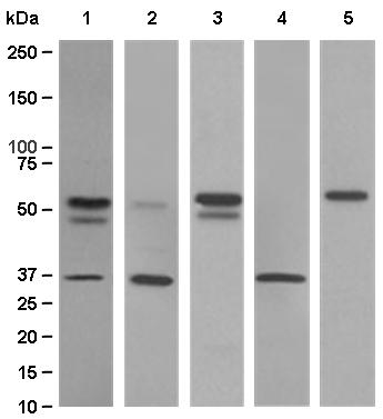 Western blot - PIST antibody [EPR4079] (ab109119)
