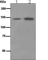 Western blot - TAG1 antibody [EPR5107] (ab109178)