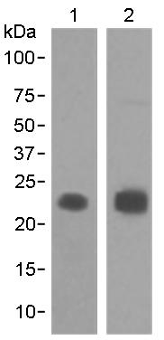 Western blot - Anti-MUC1 antibody [EPR1023] (ab109185)