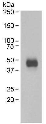 Western blot - NeuroD1 antibody [EPR4009] (ab109188)