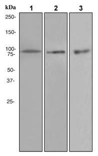 Western blot - VCP antibody [EPR3308] (ab109198)
