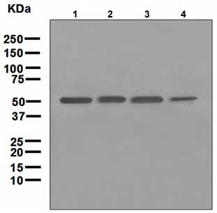 Western blot - Tryptophanyl tRNA synthetase antibody [EPR3423] (ab109213)