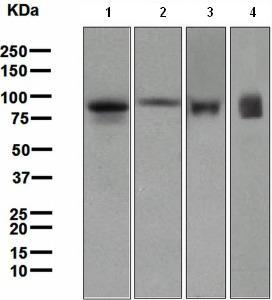 Western blot - Lactoferrin antibody [EPR4337] (ab109216)