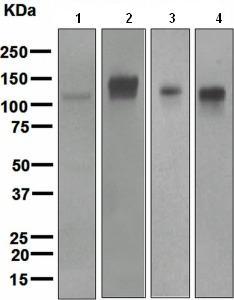 Western blot - CD6 antibody [EPR4057] (ab109217)