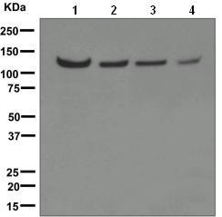 Western blot - USP10 antibody [EPR4261] (ab109219)