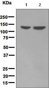 Western blot - LI Cadherin antibody [EPR3997] (ab109220)