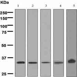 Western blot - XBP1 antibody [EPR4086] (ab109221)