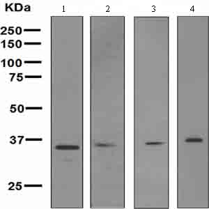 Western blot - Anti-Wnt2  antibody [EPR3101(2)] (ab109222)