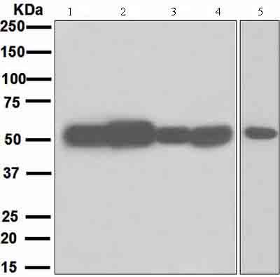 Western blot - Muscarinic Acetylcholine Receptor 2 antibody [EPR4568] (ab109226)