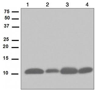 Western blot - UBA52 antibody [EPR4546] (ab109227)