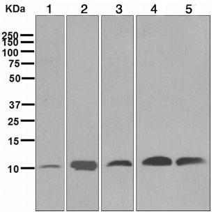 Western blot - UBA52 antibody [EPR4547] (ab109230)