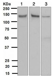 Western blot - TYRO3 antibody [EPR4308] (ab109231)