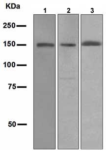 Western blot - Xanthine Oxidase antibody [EPR4605] (ab109235)