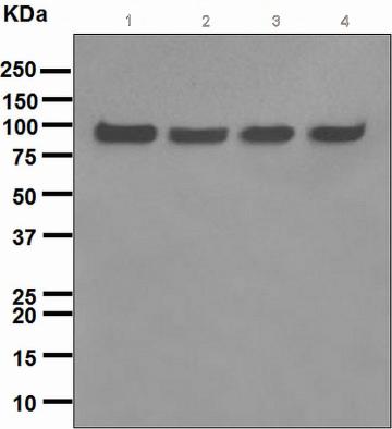 Western blot - VCP antibody [EPR3307(2)] (ab109240)