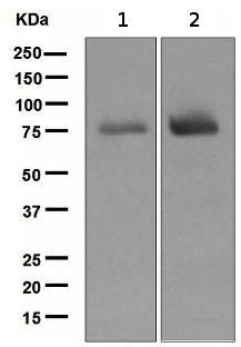 Western blot - SLP76 antibody [EPR2549(2)] (ab109254)