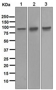 Western blot - Transferrin Receptor antibody [EPR4013] (ab109259)