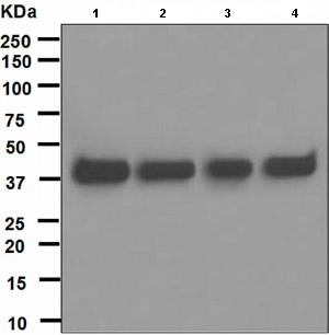 Western blot - PCYT1A antibody [EPR3940(2)] (ab109263)